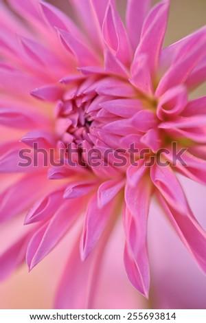 Close up of a pink dahlia blossom. Narrow depth of field - stock photo