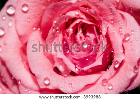 Close-up of a pink rose with water droplets.
