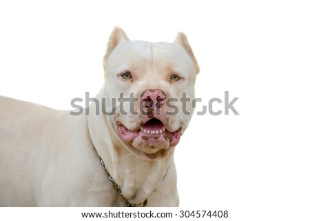 Close up of a Pitbull male isolated on a white background