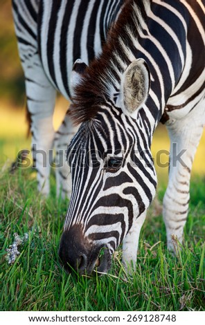 Close up of a Plains Zebra Grazing on Green Grass in Africa - stock photo