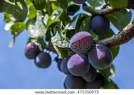 Close up of a plum tree.