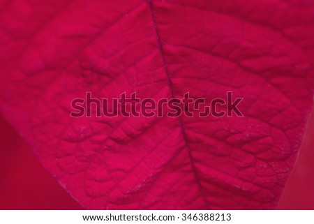 Close up of a poinsettia