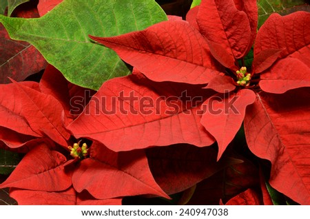 Close up of a poinsettia plant