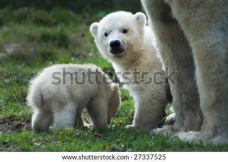 close-up of a polar bear and her cute cubs