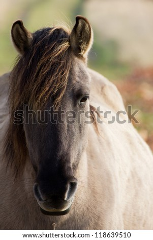 Close-up of a Polish konik horse