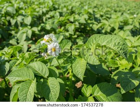 Close up of a potato field. - stock photo