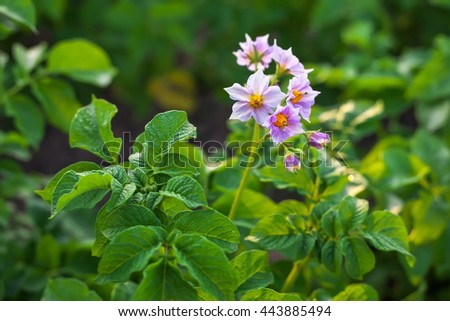 Close up of a potato field. Flowering potatoes on the field. - stock photo