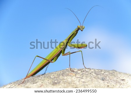 Close-up of a praying mantis posing over a stone wall and looking to front. - stock photo