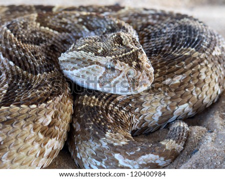 Close-up of a puff adder (Bitis arietans) snake ready to strike - stock photo