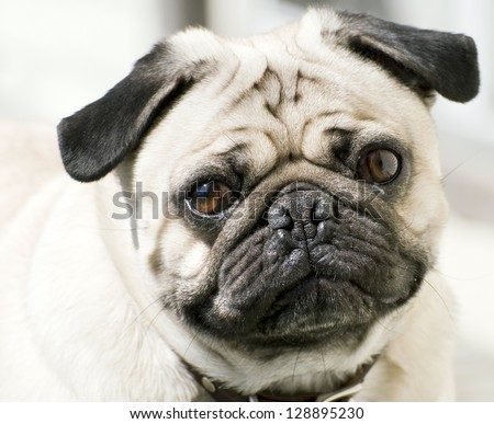 Close-up of a Pug's face - stock photo