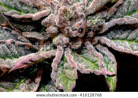 Close-up of a purple Cannabis Flower - stock photo