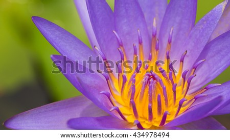 Close up of a purple water lily bloom,Close up of a purple lotus bloom. - stock photo