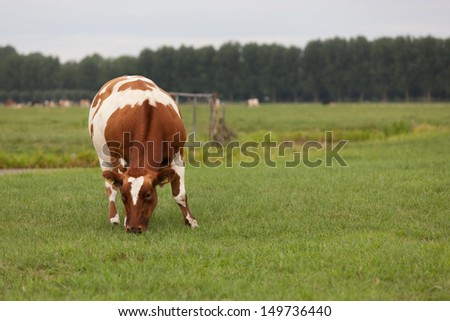 Close up of a red and white spotted cow in Dutch meadow landscape - stock photo