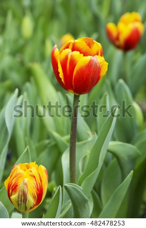 Close up of a red and yellow tulip bloom