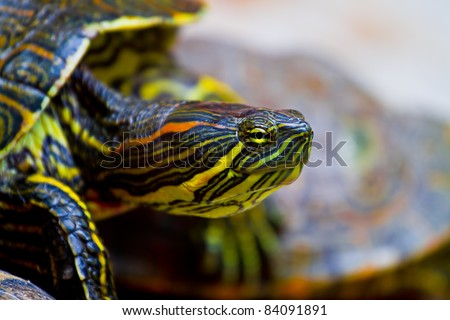 Close up of a red eared Mexican turtle as it clambers over another to reach its resting spot.