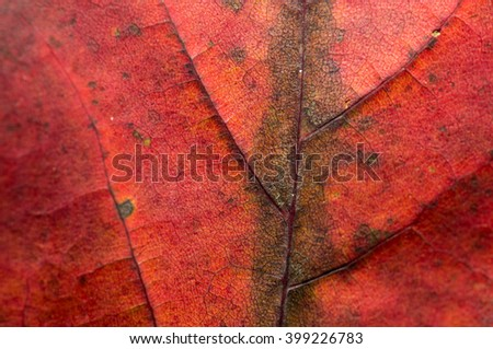 Close-up of a red leaf with fine leaf veins.
