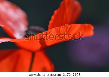 Close up of a red poppy flower (Papaver rhoeas) from the side. Soft focus and dark background giving a dreamy, emotional, mysterious atmosphere.  - stock photo