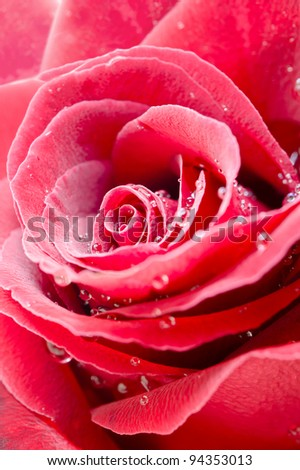 Close up of a Red rose with water droplets