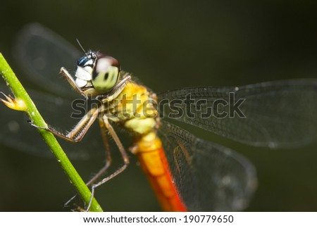 Close-up of a red-tailed dragonfly, Borneo