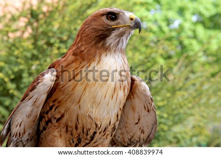 Close up of a red-tailed hawk on natural environment - stock photo