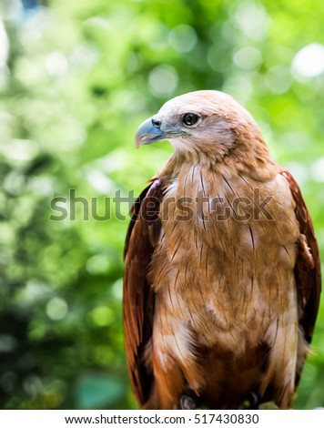 Close up of a red-tailed hawk on natural environment