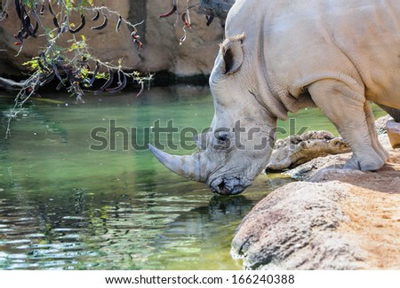 Close up of a Rhinoceros drinking at a lake