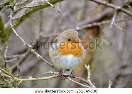 Close up of a robin