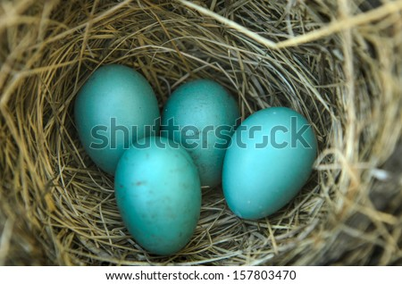 Close-up of a robins nest with 4 eggs in it. - stock photo
