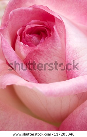 Close up of a rose flower