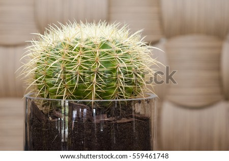 Close up of a round cactus before a wooden wall