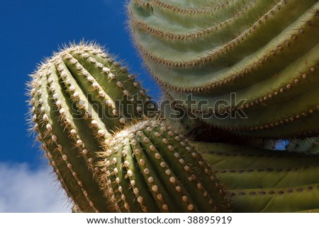 Close-up of a Saguaro Cactus at Saguaro National Park, Tucson, Arizona. Blue sky. - stock photo
