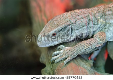 Close up of a Savanna Monitor (Varanus exanthematicus) or Boscs Monitor