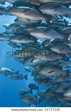 Close-up of a school of Twinspot snappers (Lutjanus bohar). Shark reef, Red Sea, Egypt.