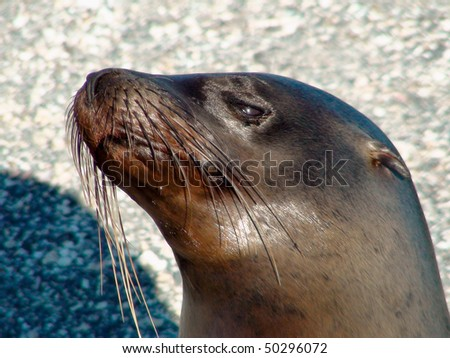 Close Up of a Sea Lion from the Galapagos Islands - stock photo