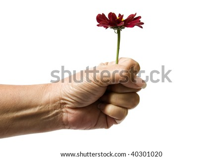Close up of a senior woman's hand holding a dark red flower by the stem, isolated on a white background.