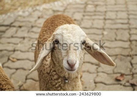 Close up of a sheep  - stock photo