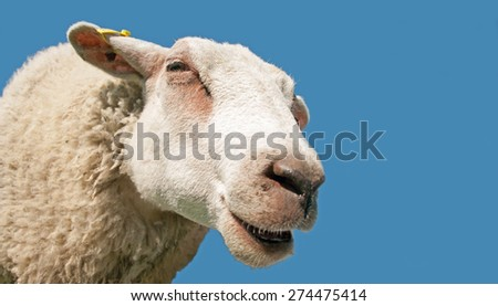Close up of a sheep head