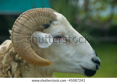 Close up of a sheep's head