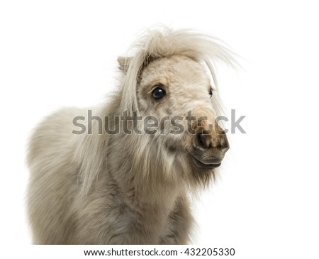 Close-up of a Shetland Pony isolated on white - stock photo
