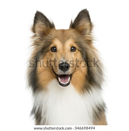Close-up of a Shetland Sheepdog in front of a white background - stock photo