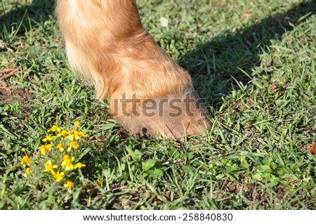 close up of a single palomino horse hoof standing in green grass in bright sunlight - stock photo