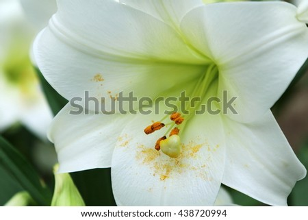 Close up of a single white lily flower in full bloom, with pollen fallen on its petals - stock photo