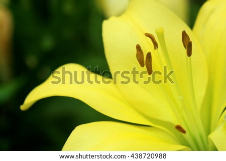 Close up of a single yellow lily flower in full bloom - stock photo