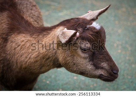 Close up of a small goat. - stock photo