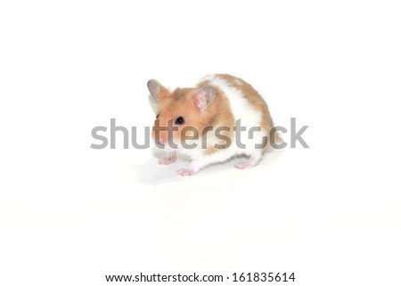 Close-up of a small golden hamster isolated on white - stock photo
