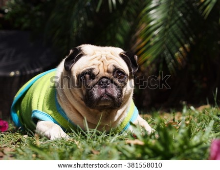 close up of a small white fat lovely cute pug dog wearing blue green dog shirt hanging around on the floor outdoor in garden with expression of thinking, lonely, sad, wisdom, waiting, visionary