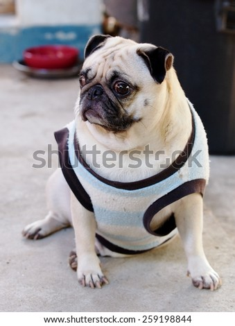 close up of a small white fat lovely cute pug dog wearing old black blue dog shirt hanging around on the floor with expression of thinking, lonely, sad, wisdom, waiting, visionary - stock photo