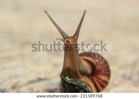 Close up of a snail - stock photo