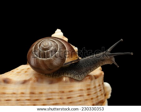 Close up of a snail creeping on a sea cockleshell