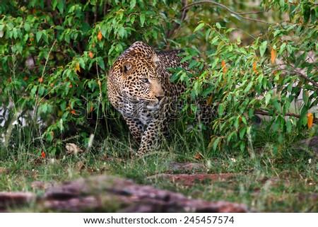 Close up of a sneaking Leopard in Masai Mara, Kenya - stock photo
